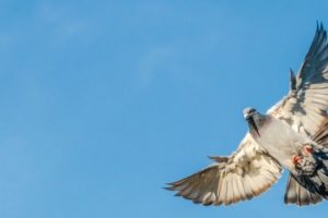A_carrier_pigeon_spreads_its_wings_for_landing_on_the_roof_wit_a_blue_sky_as_background