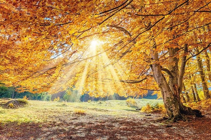 Fantastic_Autumn_landscape_-_big_forest_golden_tree_with_sunlight_on_sunny_meadow